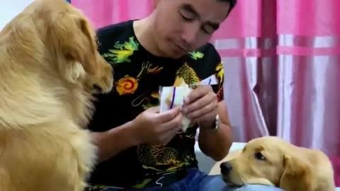 主人假装中毒测试豆豆忠诚度,狗狗立刻去拿药,好暖心的金毛犬