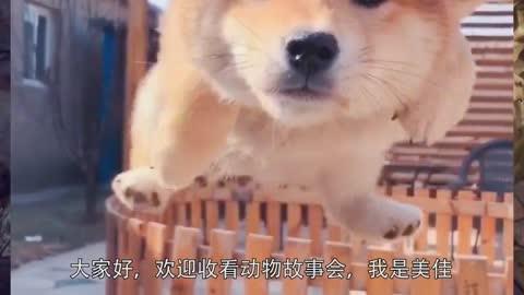 为什么可爱的柴犬会如此的开朗,微笑面对生活呢?