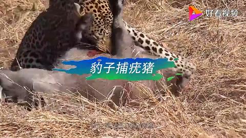 豹子捕食疣猪疣猪拼命挣扎却毫无作用镜头记下全过程