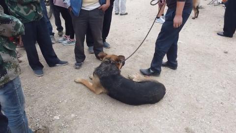 男子出售昆明犬路人说耳朵现在是直不起来了嘴特别的宽