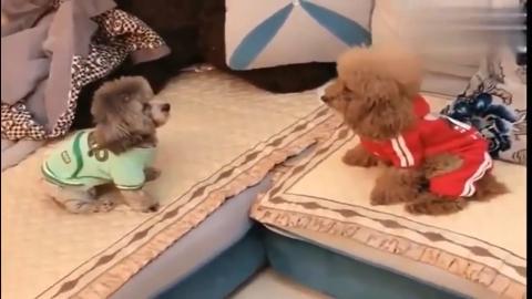 萌宠两只泰迪矛盾升级就干瞪眼也不打架