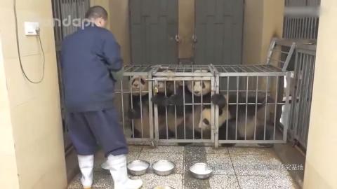 被抓到黑煤窑挖煤的大熊猫宝宝 奥总又雇佣童工了