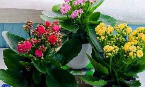 """养长寿花喂一个""""它"""",3个月不施肥,叶绿花也旺"""