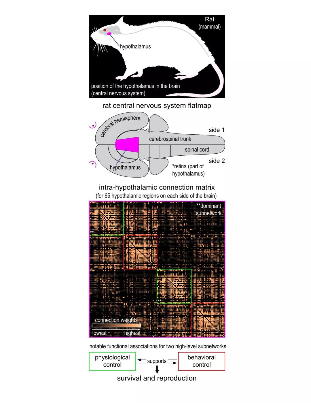 科学家创建下丘脑的网络模型 试图解开大脑维持生命的秘密