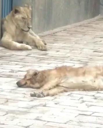 一群狮子在晒太阳,其中一只特别小,饲养员过去一看笑喷曼塔国民vs亚松森海豚比赛结果图片