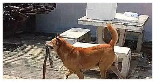 土狗在院子里一直狂叫,主人受不了,出去一看被吓得脸色铁青