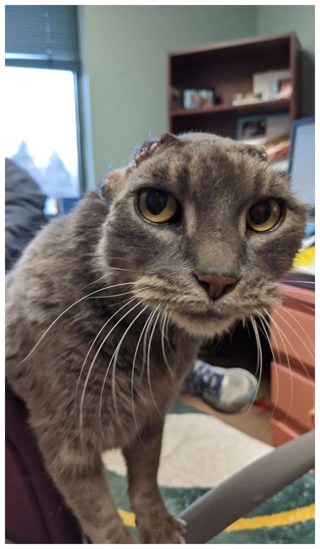 """可怜流浪猫,失去双耳惹人心疼,好心人用爱助它重新""""聆听""""世界"""