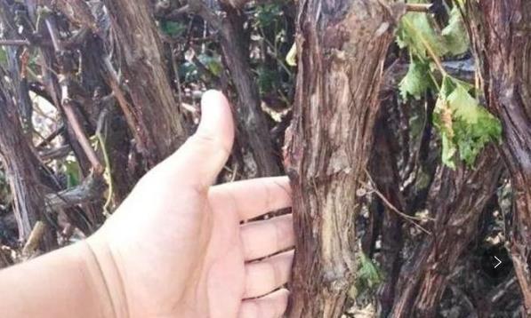 世界上最古老的葡萄树,树龄超170年,每年产量可达7吨葡萄