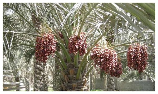 迪拜人热爱的椰枣,为何中国人却不爱吃?原因有三点