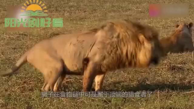 狮子追捕斑马,眼看着马上追上了,意想不到的事发生了