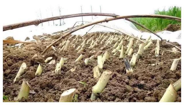 这种作物种一次可收割7年,亩产高达30吨,收益超万元