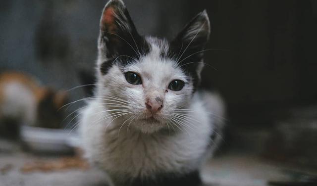 """猫病科普""""隐球菌病""""为猫常见真菌病,鸽子粪便为感染源之一"""