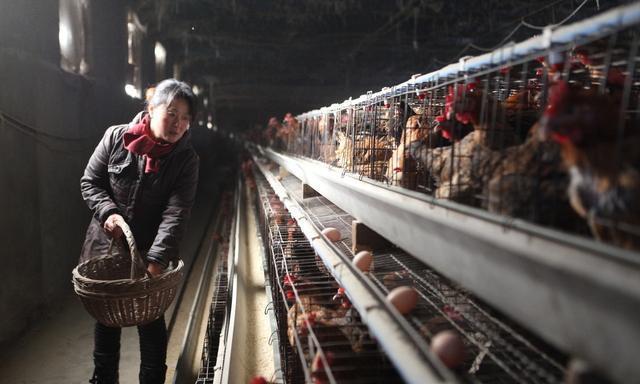 养鸡人孩子高考作文《站在我家养鸡场的门口》,阅卷老师都感动了
