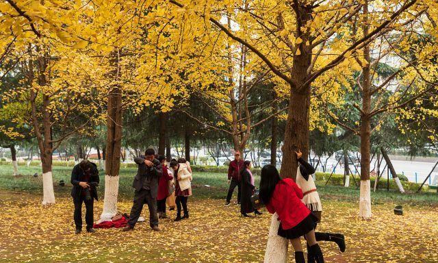 重庆:初冬时节,路边银杏黄叶漫天飞舞成网红打卡地