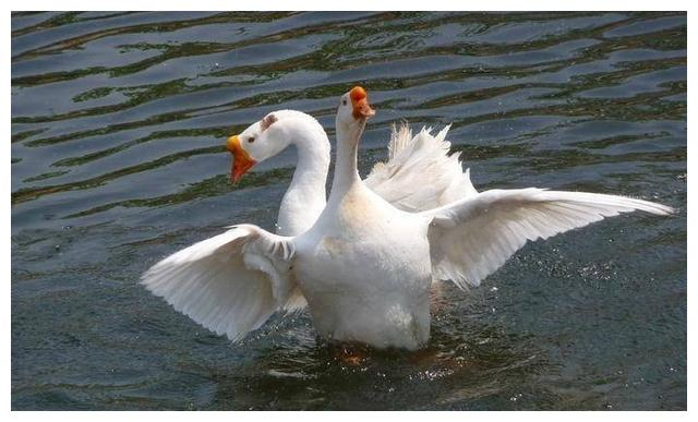 """加拿大鹅泛滥成灾没人吃,鹅毛却极其珍贵,俗称""""贵绒"""""""