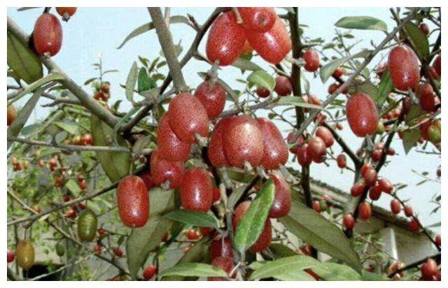 """稀有的1种""""野果"""",被称为""""羊奶奶"""",果子能做""""罐头"""",珍贵"""