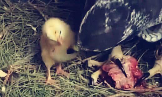 老鹰蛋被换成鸡蛋,小鸡出生后要饭吃,老鹰一个举动大家心碎了
