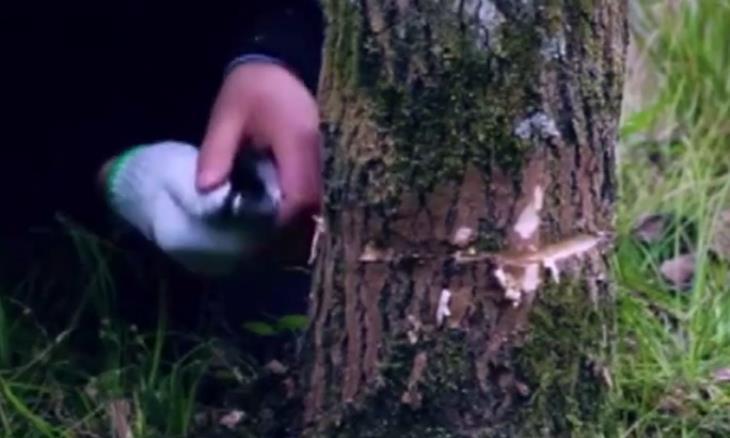 """它是原产于我国的树木,树皮内含""""银丝""""如今树皮一斤上百元"""