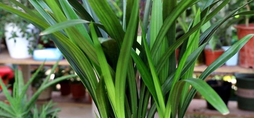 春天养兰花,给它做好4件事,植株长势旺盛图片