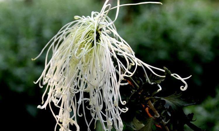 """喜欢菊花,就养盆精品名菊""""十丈珠帘"""",花瓣如瀑布,气势恢宏"""