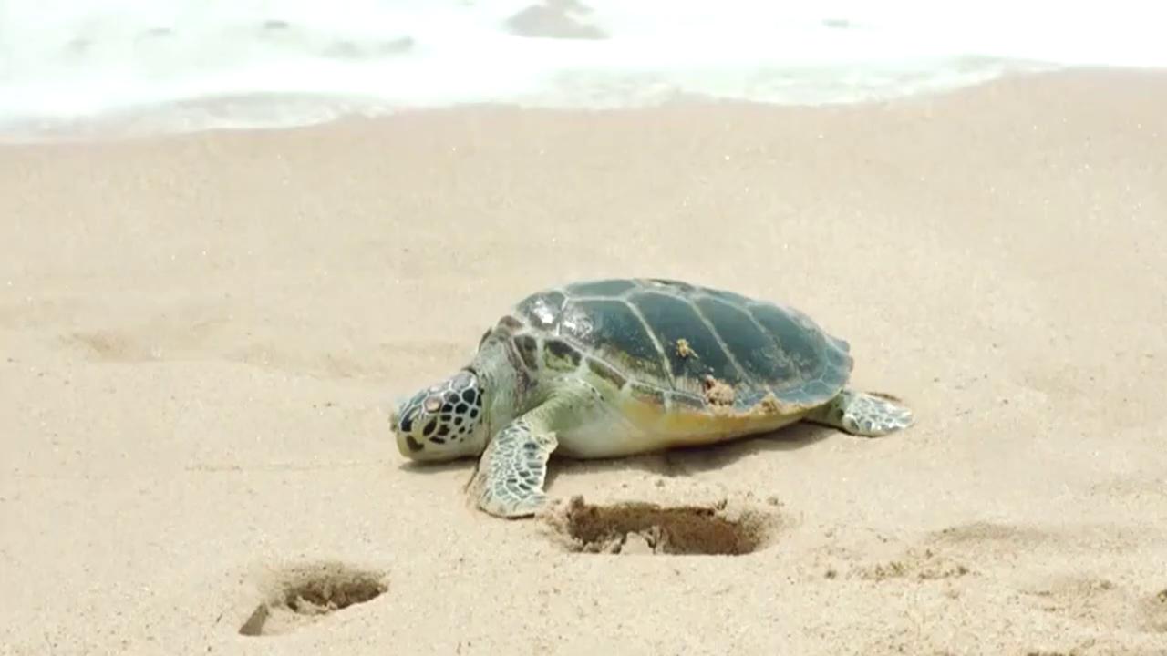 女游客海边遇到巨型海龟,这是想抱回家炖了吗