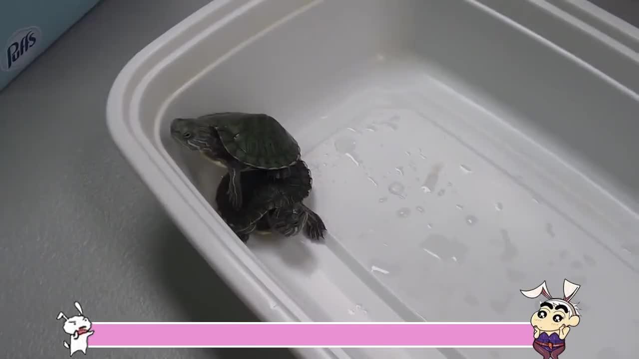 寺庙25年的乌龟突然死亡切开肚子吓一跳全是值钱宝贝