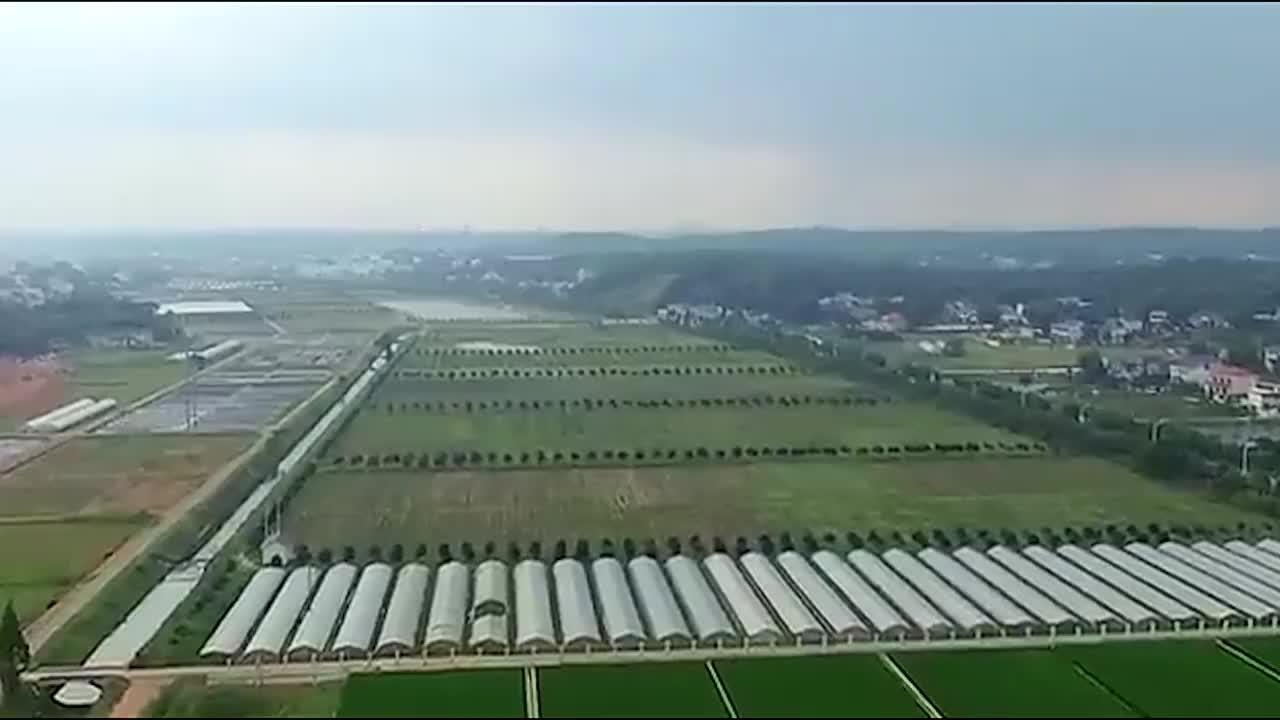 袁隆平立功了中国1.8米高水稻问世亩产2000引外国人围观