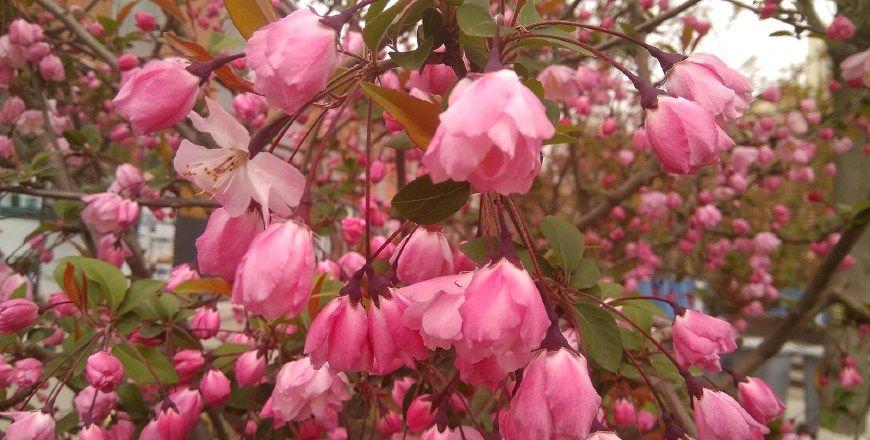 肃竹:漫步海棠花下,领略苏轼的海棠情怀