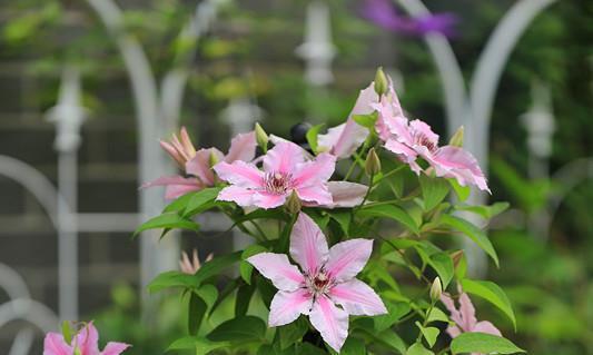 中国产的世界名花,三季开花,漂亮又好养,广受好评,值得拥有