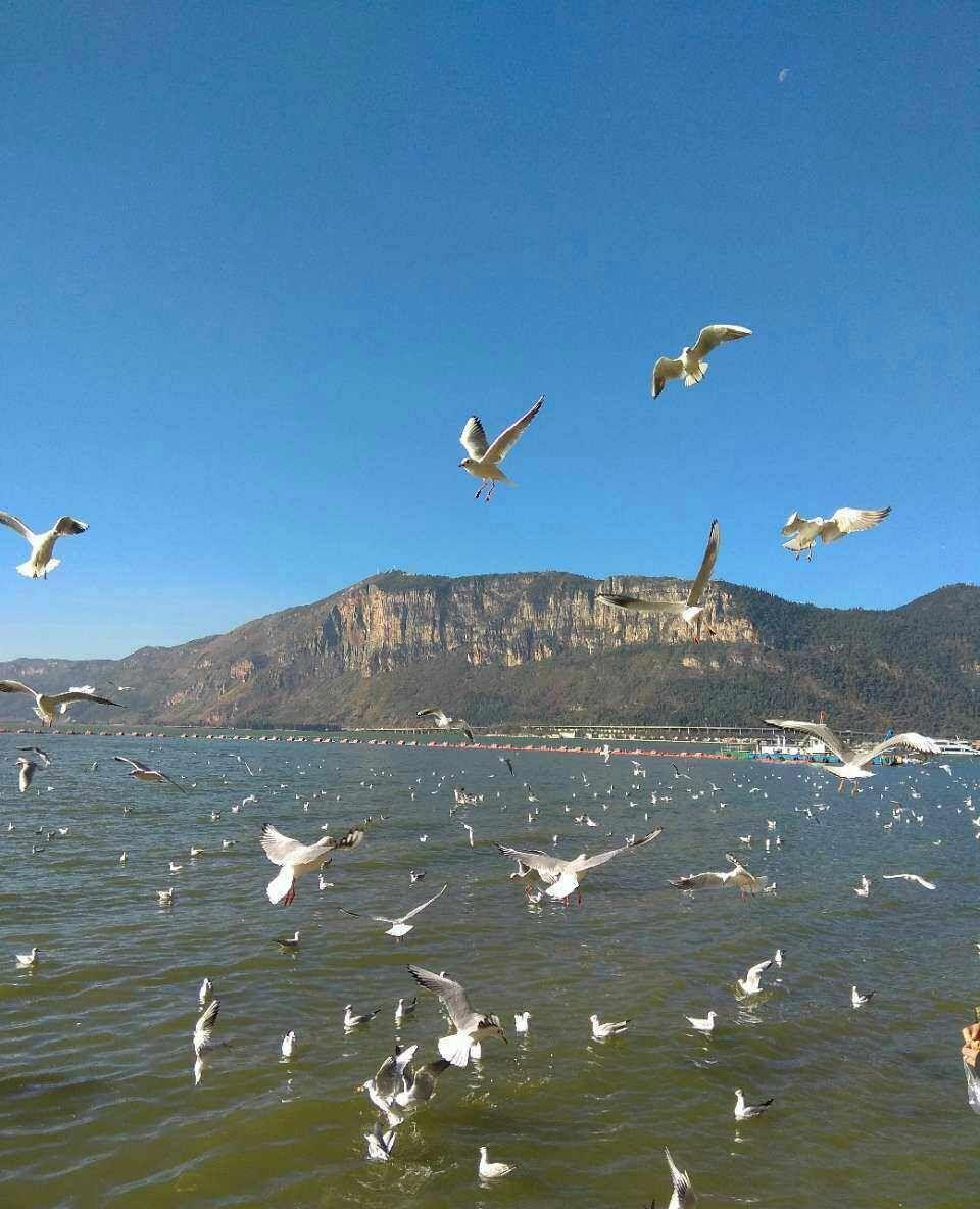 西伯利亚候鸟每年飞来,昆明滇池,玉溪抚仙湖过冬