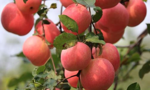 挑选苹果,要挑片红还是线红?掌握小技巧后,挑到的苹果脆甜可口