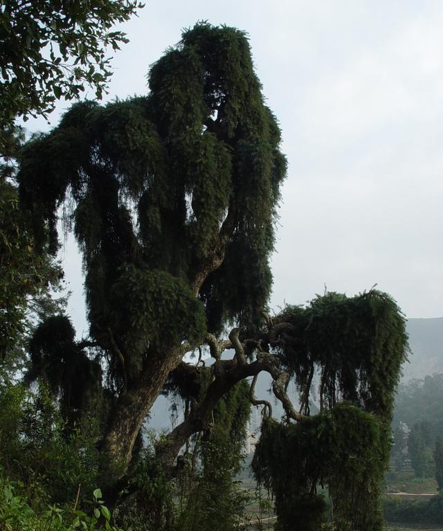 云南省玉溪市华宁县最美丽的那棵树_蓑衣龙树