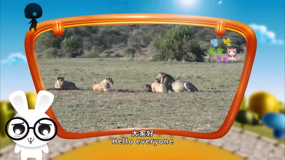 狮子准备偷袭羚羊没想到其中一只走了过来对视一秒后画风突变