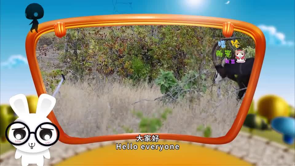 猎豹捕食羚羊一次失误猎豹被彪悍的羚羊反杀