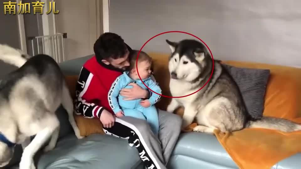 二哈不小心把萌娃惹哭了,就看一娃一狗之后的互动,太逗了