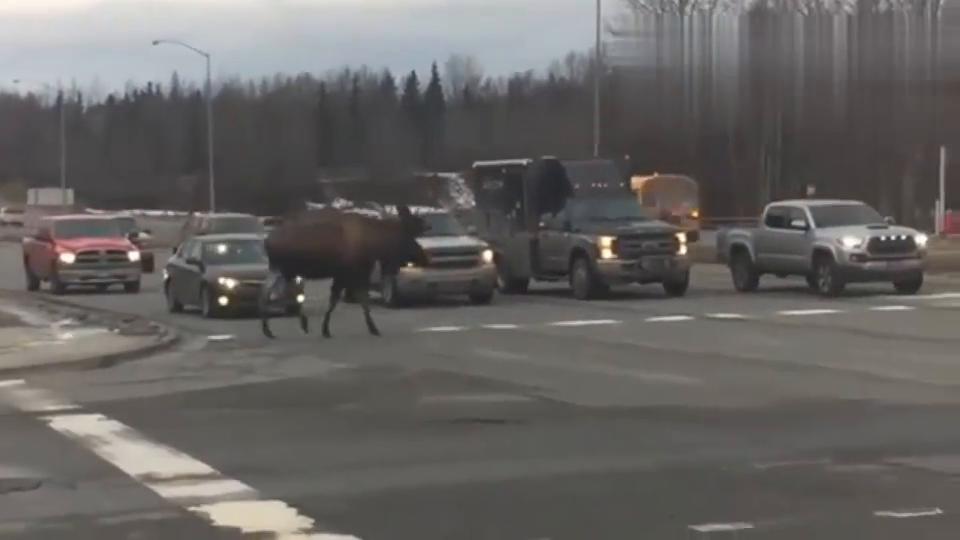 行车录像:连野生麋鹿都知道走斑马线,你还好意思违反交通规则吗