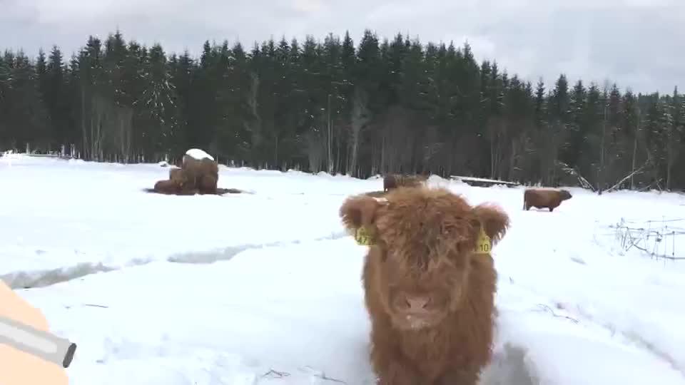 苏格兰的高地牛为抵御严寒它们长出了刘海儿真是非主牛