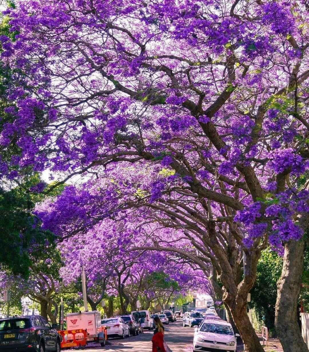 悉尼绝美蓝花楹大道
