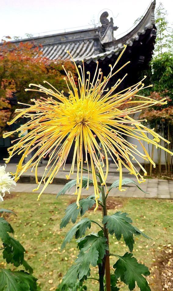 重庆市第二十二届菊花艺术展,园博园龙景书院精品菊花之一