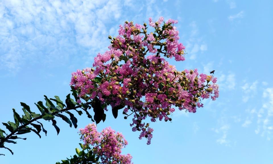 衡阳市船山公园:蓝天白云下紫薇竞艳,浪漫了炎热的夏天