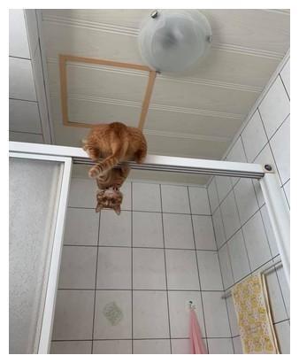 猫蝙蝠再现!每天吊挂浴室紧盯妈