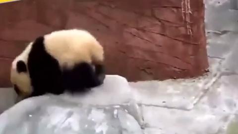 一个黏人的小妖精,奶爸走到哪儿,熊猫宝宝跟到哪儿!