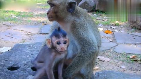 猴宝宝拼命拽住妈妈希望能救它懦弱的猴妈却连看都不敢看