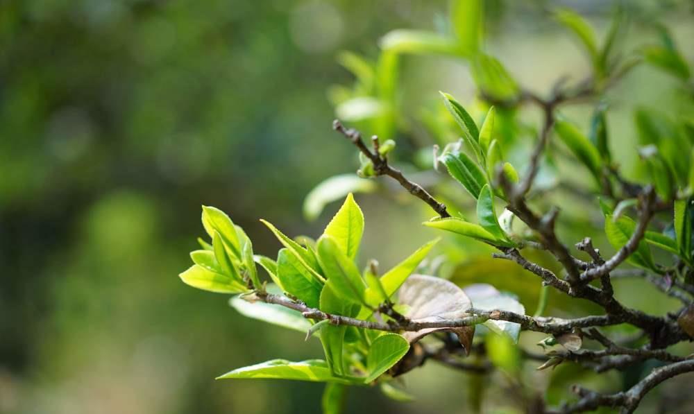 茶叶知识归纳:普洱茶梗含量的影响和控制