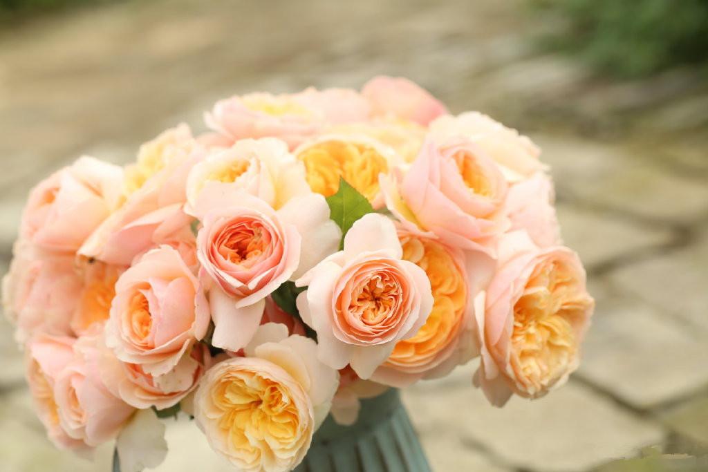 世界最美月季花,花型完美,四季开花,还是盆栽佳品,你值得拥有