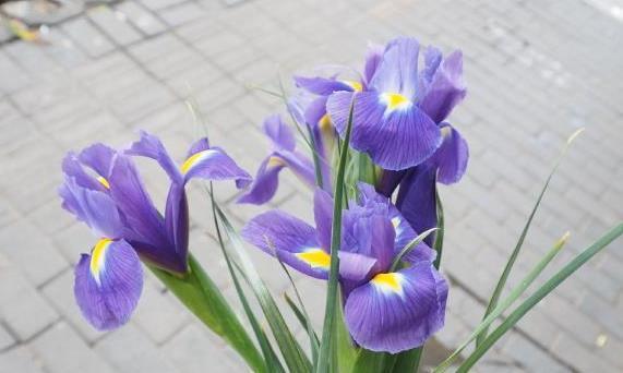 喜欢养花,不如养盆鸢尾花,烂漫迷人,开花烂漫美爆