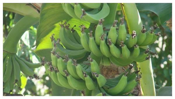 男子突发奇想把100斤香蕉放锅里煮,看着恶心煮好后大家乐坏了