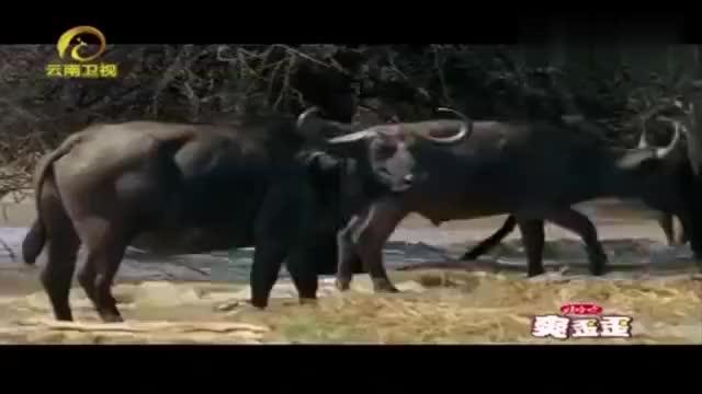 公牛在6岁时离群独居当它们准备好交配时才会暂时与群体相聚