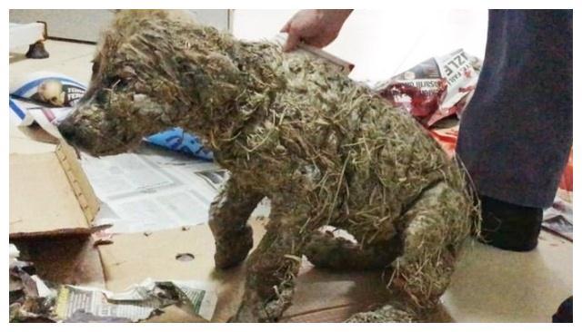 狗狗遭儿童虐待,被涂满胶水石化痛到不敢动,剃完毛后萌出天际