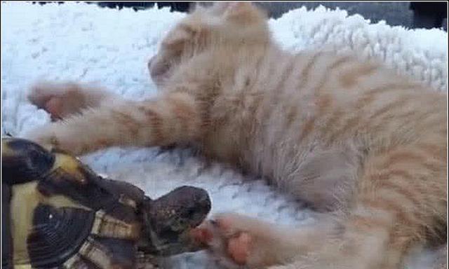 鳄龟以为猫掌是食物,偷偷趁橘猫睡觉张嘴就咬,结果却出乎预料